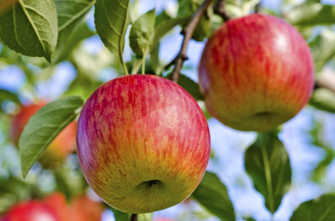 Fuji Apple Nutrition Information