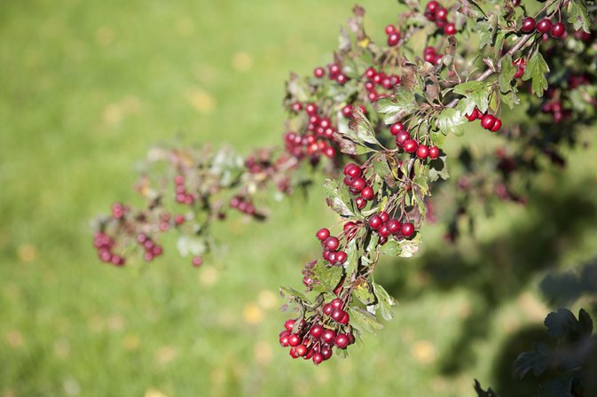 Lisinopril & Hawthorn Berries
