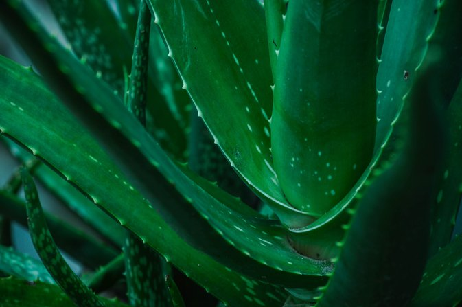 How to Use Aloe in Diabetes