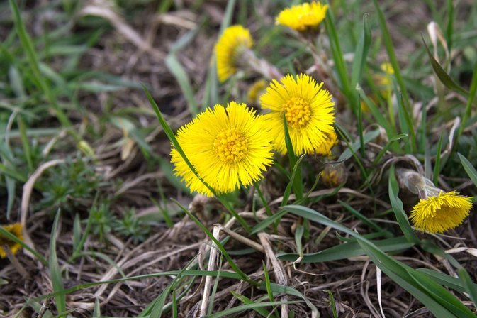 Nutritional Information on Dandelion Root