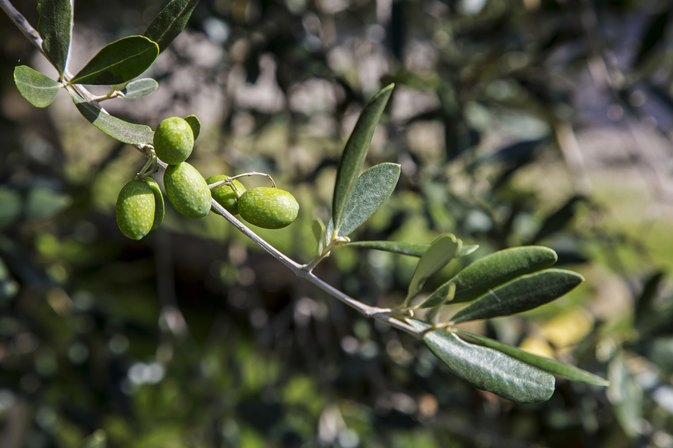 What Are the Best Brands of Olive Leaf Capsules?