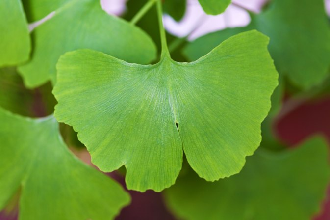 The medicinal benefits of the ginkgo leaf in china