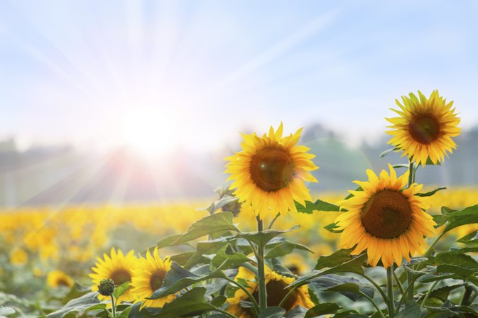 The Nutrition of Sunflower Oil