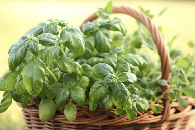 What Are the Health Benefits of Fresh Basil Leaves?
