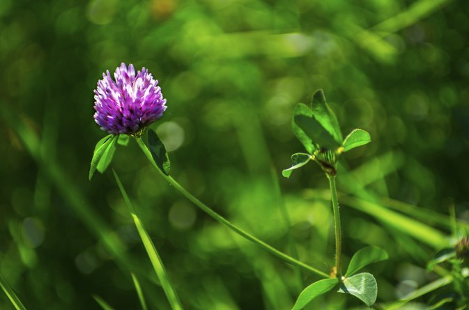 Red Clover Vs. White Clover