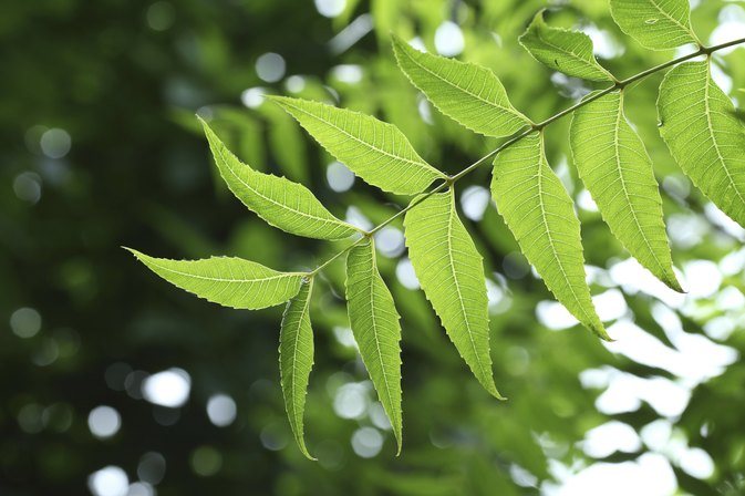 Neem Leaf for Cancer