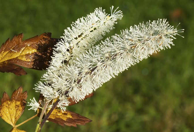 Black Cohosh Warnings and Suggested Dosage