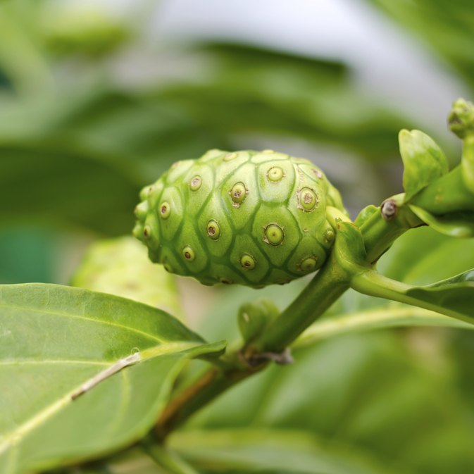 Noni Berry Benefits