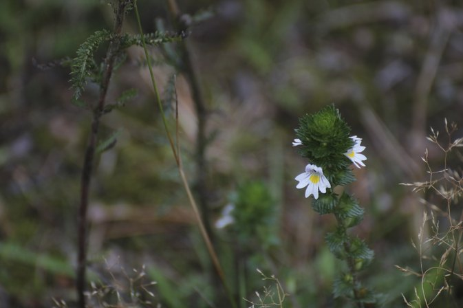 Herb Eyebright Side Effects