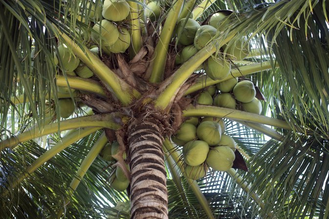 What Are the Benefits of Green Coconut Water?