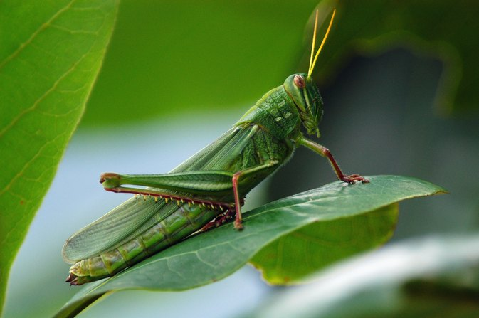 The Nutritional Value of Locusts
