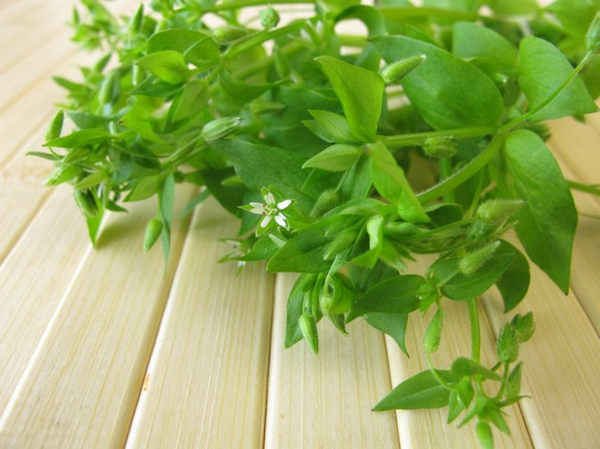 What Are the Health Benefits of Chickweed?