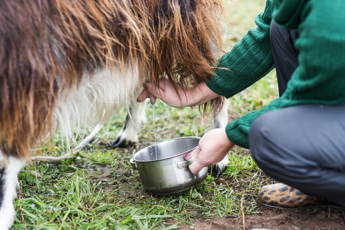 Benefits of the Colostrum in Goat's Milk