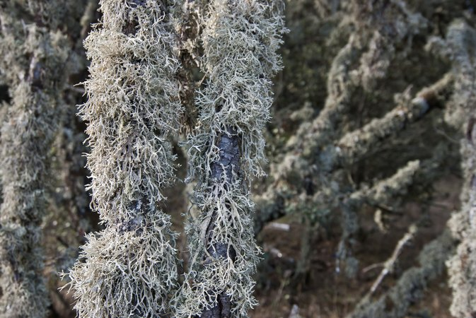 Harmful Side Effects and Risks of Usnea Extract