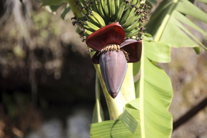 What Are the Benefits of Banana Flowers?