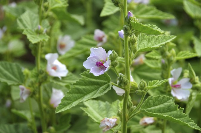 What Are the Health Benefits of Mallow?