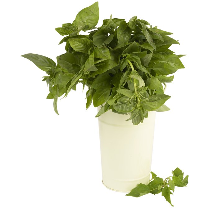 How to Use Dried Basil for Basil Tea