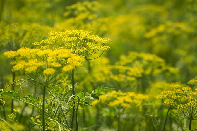 What Are Fennel Seeds Good For?
