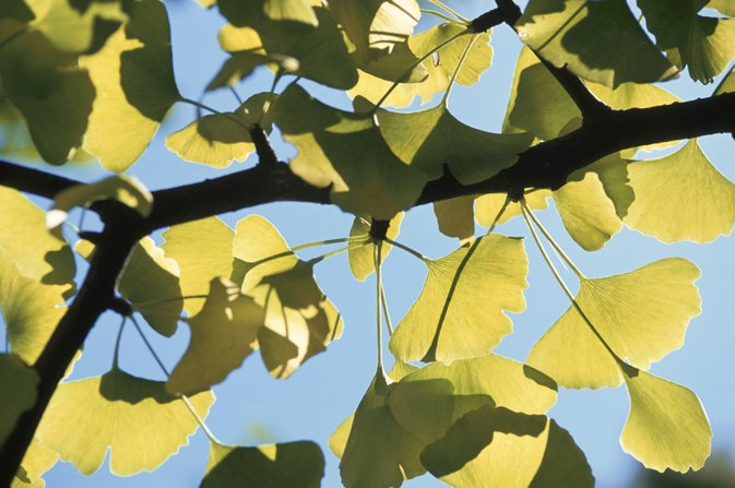 Allergic Reactions to Ginkgo Biloba