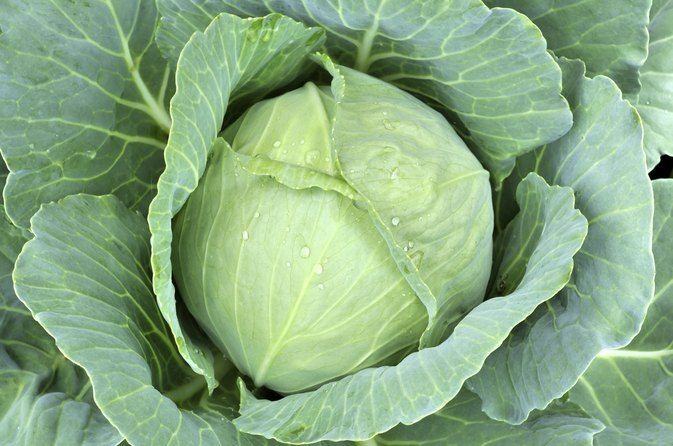 Can you eat cabbage raw