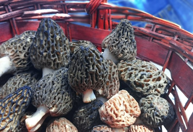 Morel Mushrooms and Allergic Reaction