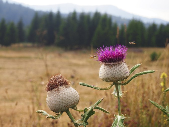 Milk Thistle & Dandelion Side Effects