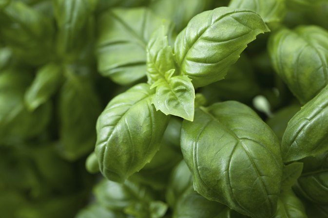 Can I Eat Basil During Pregnancy?