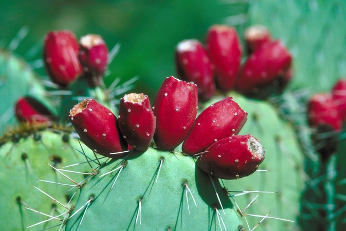 Cactus Juice to Reduce Inflammation