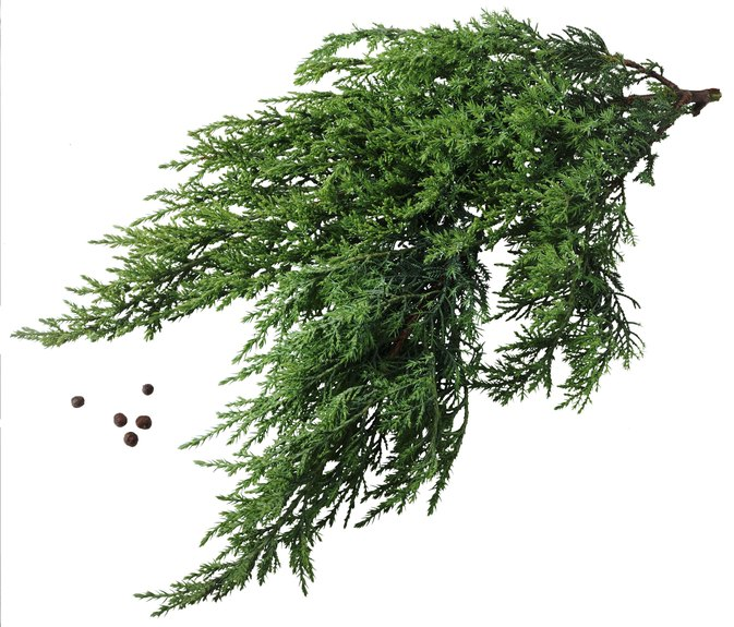 Juniper Allergies & Rashes