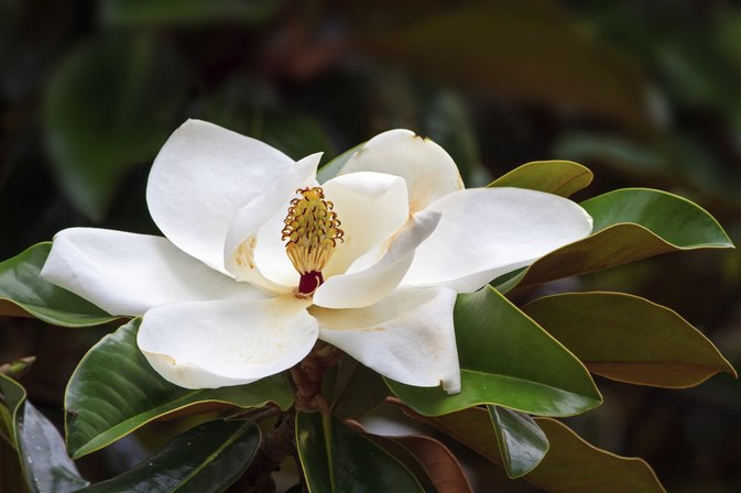 Magnolia Flower Health Uses