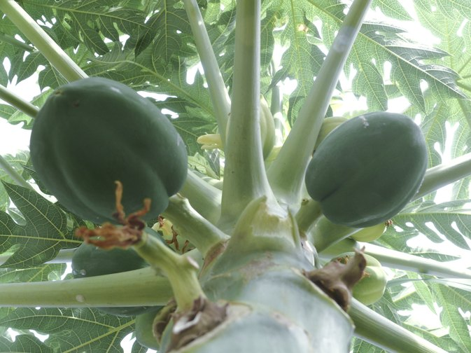 Papaya Enzymes for an Upset Stomach