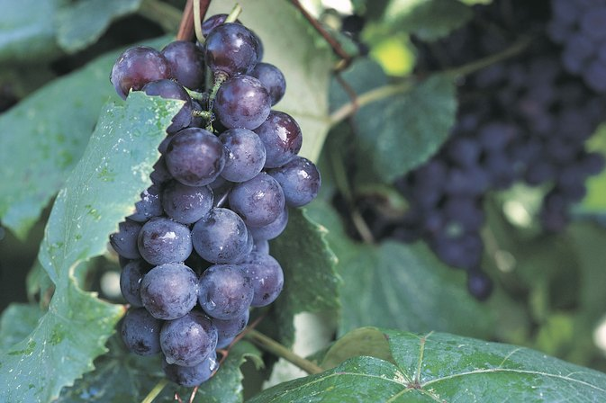 Do Grapes or Grape Juices Help in Preventing Stomach Viruses?