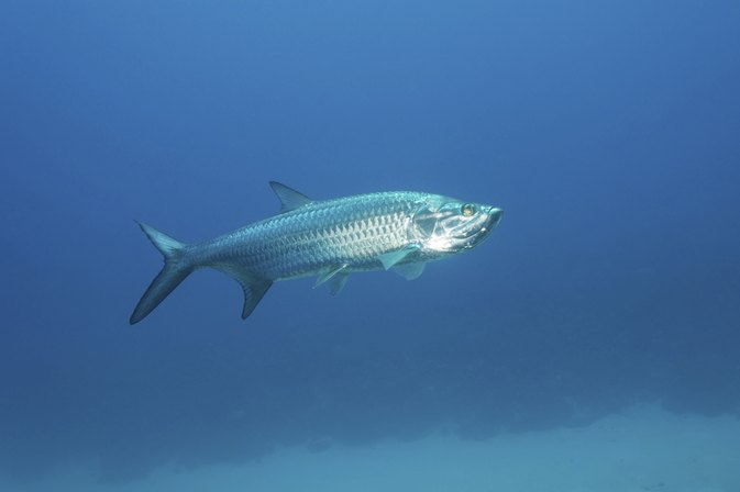 How to eat tarpon livestrong com for Names of fish to eat