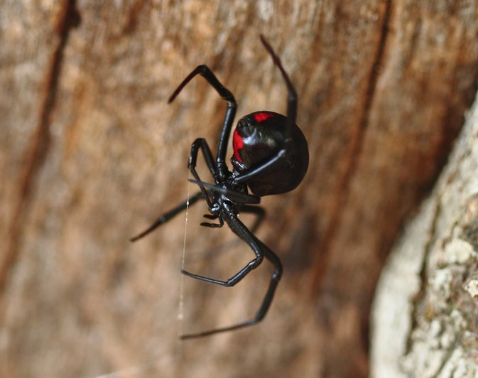 Side Effects of a Black Widow Spider Bite