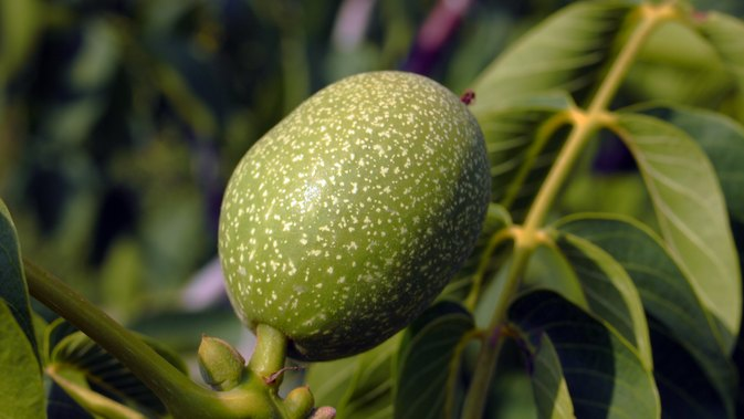 Black Walnut Parasite Cleanse