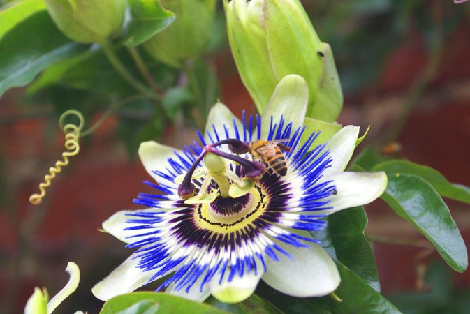 Passionflower Side Effects