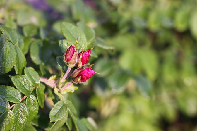 Is it Safe to Take Rose Hip Oil Internally?