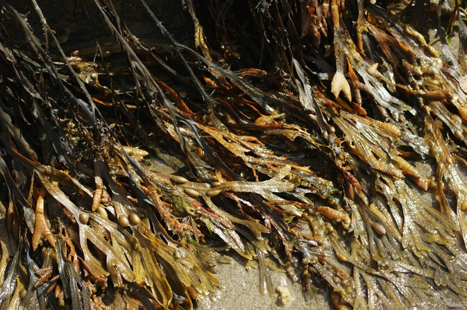 What Is Fucus Vesiculosus Extract?