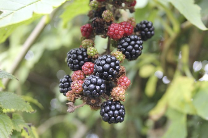 What Are the Benefits of Blackberry Leaves?