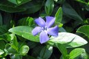 What Are the Benefits of Periwinkle?
