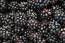 An Allergy to Blackberry Salicylates