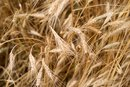 Cracked Wheat Benefits