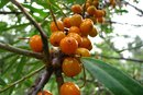 The Side Effects of Sea Buckthorn Oil
