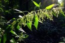 How To Use Stinging Nettle for Hair Loss
