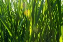 Risks of Liquid Chlorophyll
