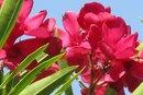 Nerium Oleander Toxicity