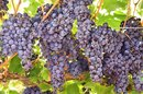 Are Grapes the New Miracle Fat-Burning Food?