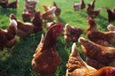 Allergy to Live Chickens