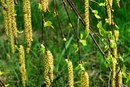 What Are the Symptoms of Ragweed Allergies?