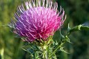 What Are Blessed Thistle & Milk Thistle?